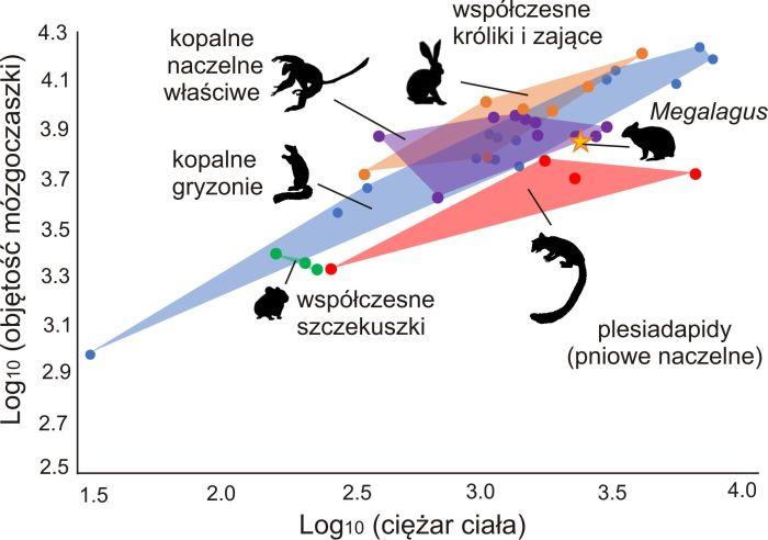 Zależność pomiędzy objętością mózgoczaszki a ciężarem ciała u wybranych grup Euarchontoglires. Szacujemy mózg prakrólika z rodzaju Megalagus (zaznaczony gwiazdką) jako proporcjonalnie mniejszy w stosunku do ciężaru zwierzęcia niż u współczesnych zajęczaków, a bardziej zbliżony w tym względzie do wczesnych naczelnych. [Ilustracje z López-Torres et al. 2020]