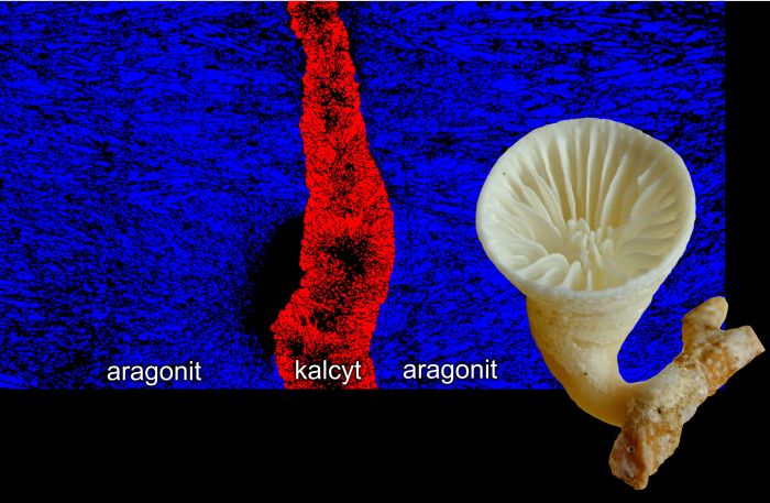 Głębokowodny osobniczy koralowiec Paraconotrochus antarticus (z prawej) tworzy szkielet zbudowany z dwóch odmian węglanu wapnia: kalcytu i aragonitu (zaznaczone różnymi barwami na przekroju szkieletu). Wszystkie inne dzisiejsze koralowce mają szkielety aragonitowe, i aby zrozumieć tę odmienność należy sięgnąć do głębokich korzeni ewolucyjnych tego koralowca.  [Ilustracja: Jarosław Stolarski]