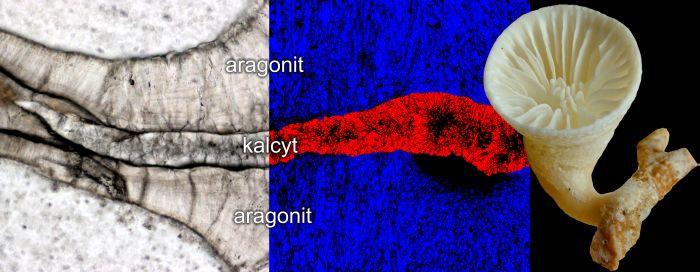 Głębokowodny osobniczy koralowiec Paraconotrochus antarticus (z prawej) tworzy szkielet zbudowany z dwóch odmian węglanu wapnia: kalcytu i aragonitu (zaznaczone różnymi barwami na przekroju szkieletu).  [Ilustracja: Jarosław Stolarski]
