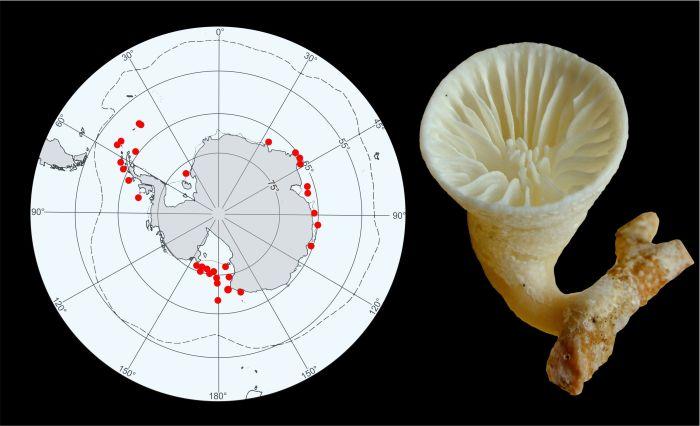 Osobniczy koralowiec Paraconotrochus antarticus, który tworzy wyjątkowy szkielet zbudowany z dwóch odmian węglanu wapnia - kalcytu i aragonitu - powszechnie występuje w głębokich wodach Oceanu Południowego.  [Ilustracja: Jarosław Stolarski, Katarzyna Janiszewska]