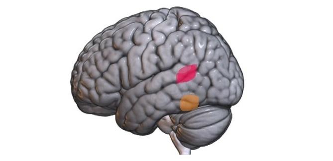 mózg, IN PAN