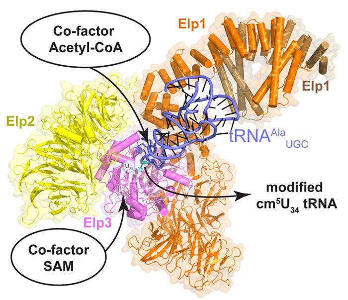 Struktura elongatora - enzymu istotnego dla fałdowania się białek. Źródło: MCB UJ