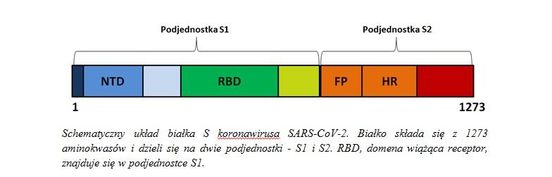 układ białka S koronawirusa