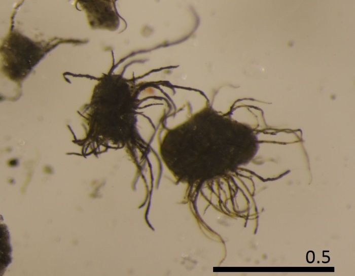 Sinice (nitki) porastające osad kriokonitowy (tzw. granulka kriokonitowa)