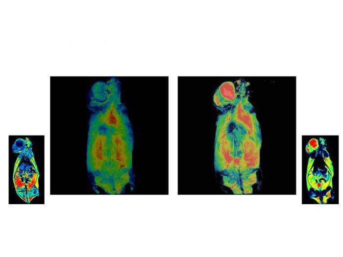 Przy wykorzystaniu znaczników z IF PAN wykonano badanie MRI na szczurze. Badanie wykazało obecność komórek nowotworowych w węzłach chłonnych Źródło: Marek Godlewski
