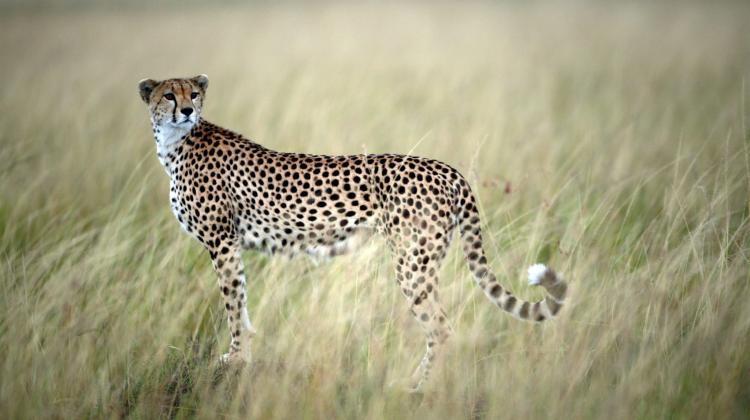 Gepard zrywny i zwrotny | Nauka w Polsce