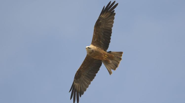 Australijskie Ptaki Drapieżne Umieją Posługiwać Się Ogniem Nauka