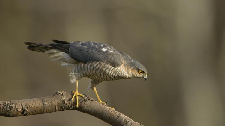 Ptaki Drapieżne Coraz Częściej Można Spotkać W Miastach Nauka W Polsce