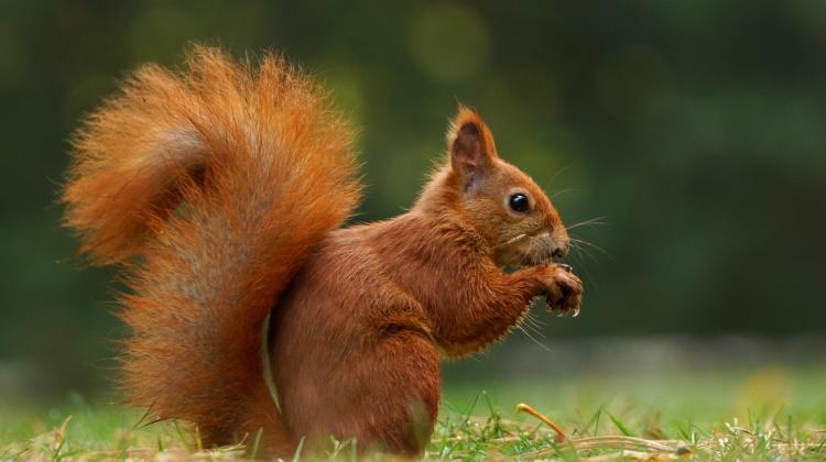 Kuny mogą ocalić wiewiórki | Nauka w Polsce