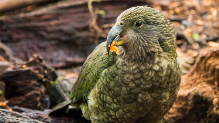 Kakapo. Fot. Fotolia