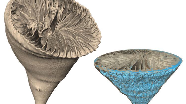 Głębokowodny osobniczy koralowiec Paraconotrochus antarticus tworzy szkielet zbudowany z dwóch odmian węglanu wapnia - kalcytu i aragonitu. Minerały te z uwagi na różną gęstość da się zobrazować w tomografie komputerowym (po prawej na niebiesko znaczony wewnętrzny, kalcytowy składnik szkieletu). (Ilustracja: Katarzyna Janiszewska, Jarosław Stolarski)
